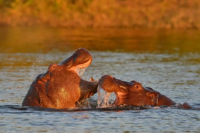 Hippos, Chobe National Park Shutterstock 189270944