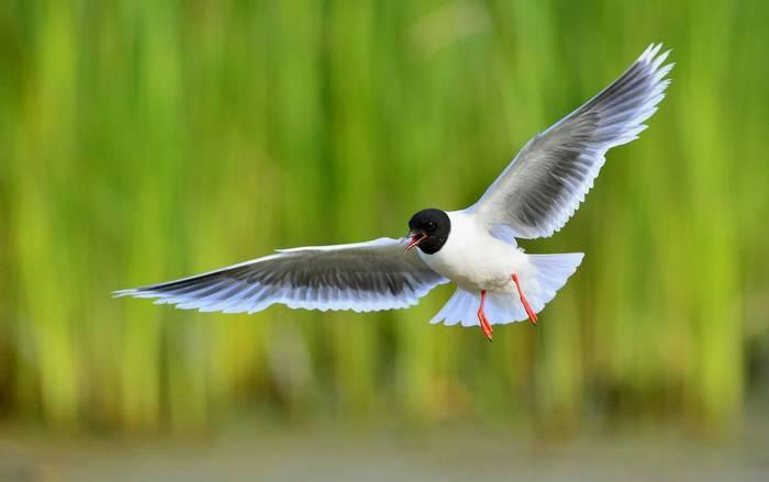 Little Gull shutterstock_337813352.jpg
