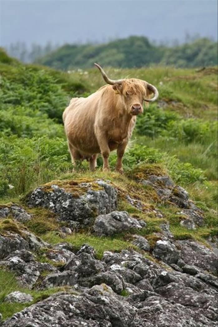 Highland Cow (Dani Free)