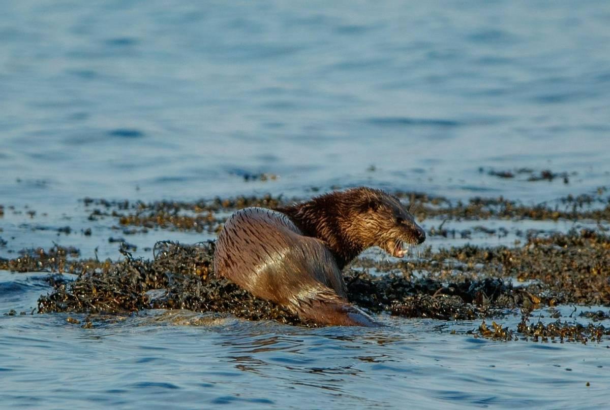 Otter (Paul Nicholson).jpg