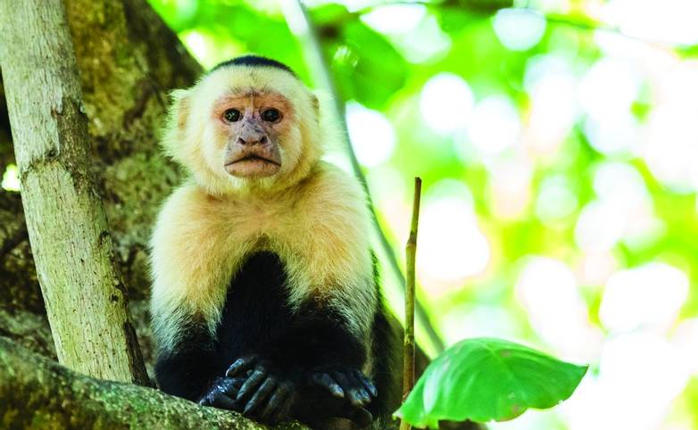 A white faced capuchin fills the frame as it sits on a branch in the treetops of a dry forest in Costa Rica.