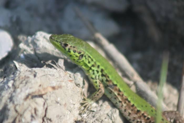 Balkan Wall Lizard (Tom Mabbett)