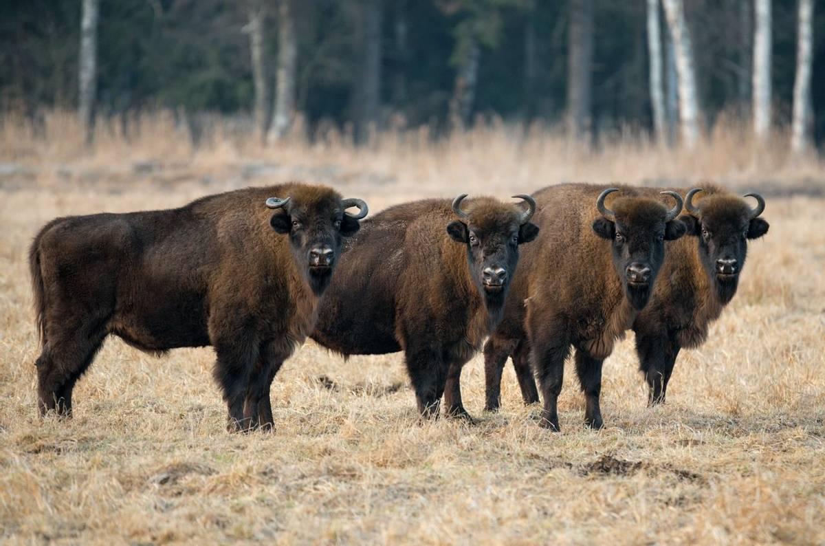 European Bison, Poland Shutterstock 471717785