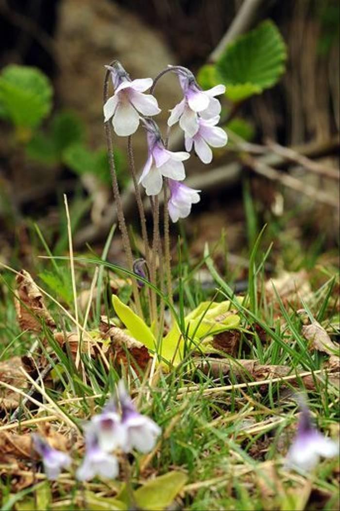 Corsican Butterwort (David Morris)