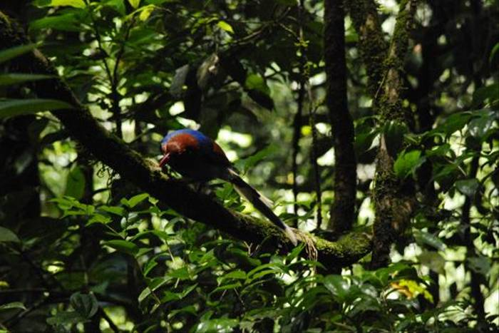 Sri Lanka Blue Magpie, Sinharaja Forest (Thomas Mills)