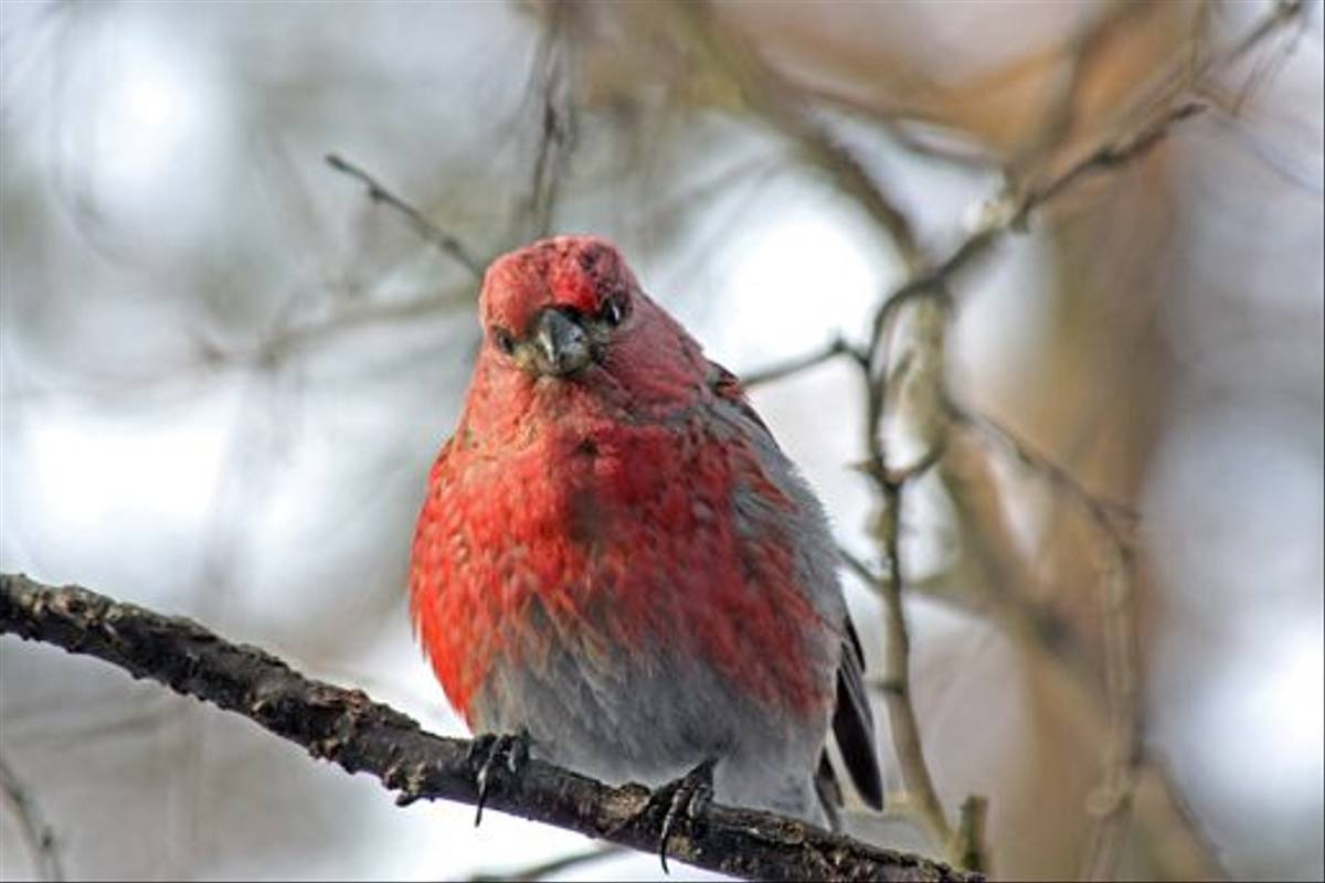 Pine Grosbeak (Jennifer Horn)