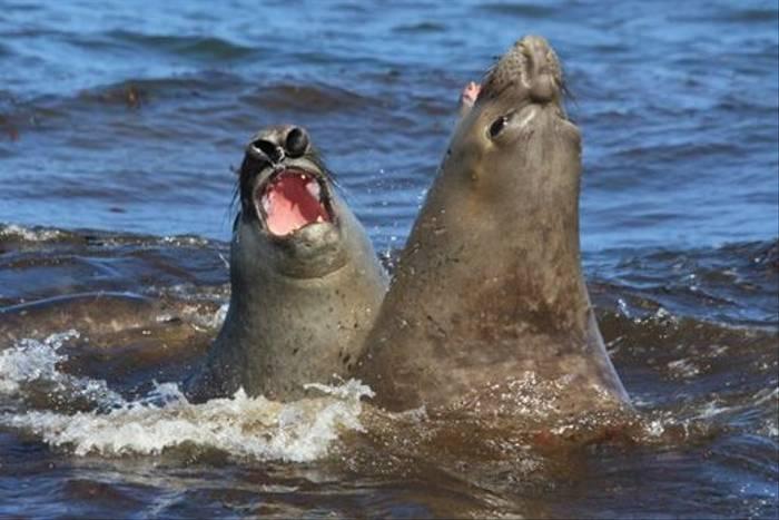 Southern Elephant Seals (Alan Henry)