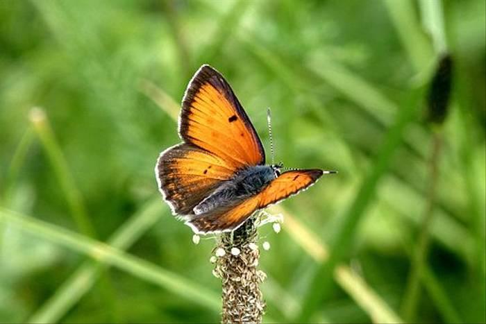Balkan Copper (Dave Smallshire)