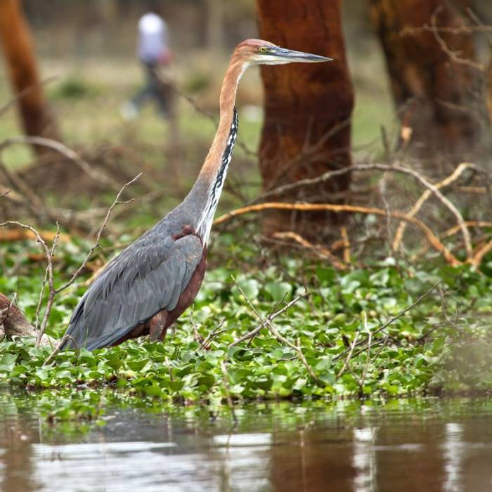 Goliath Heron (Colin Brown)