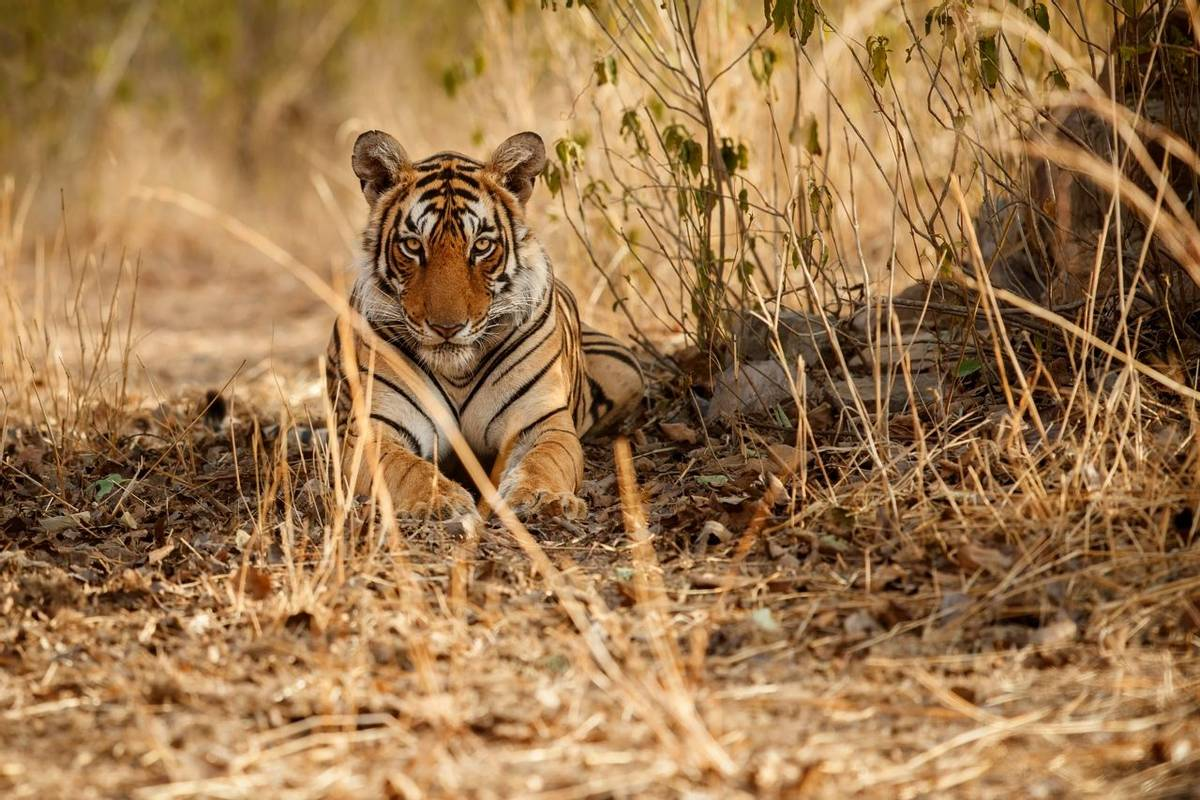 Tiger, India Shutterstock 444706489