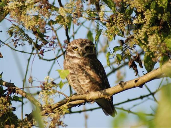 Spotted Owlet, Koshi (Thomas Mills)