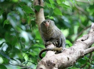 Ecuador - Amazonian Mammals