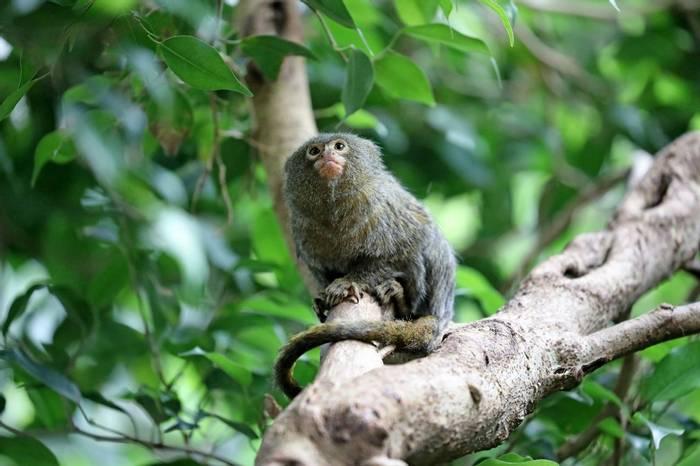 Pygmy Marmoset, Ecuador Shutterstock 681224497
