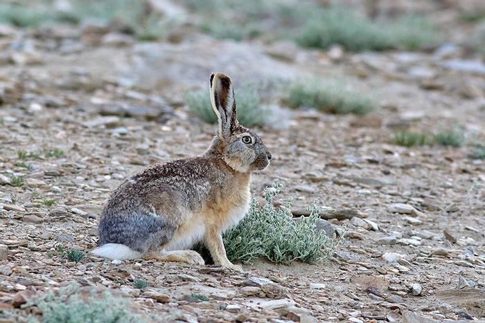 Woolly Hare (Sujan Chatterjee)