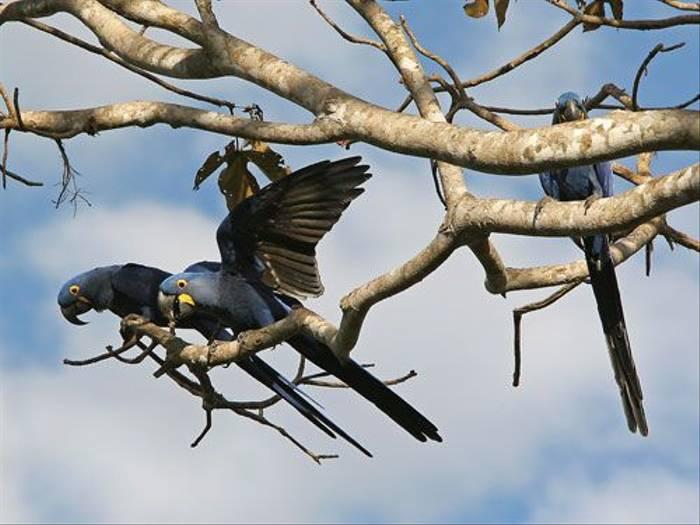 Hyacinth Macaws (Bryan Roberts)
