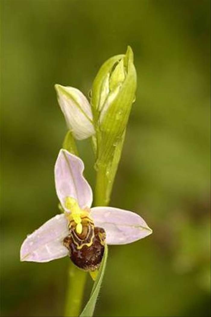 Bee Orchid (Matt Hobbs)