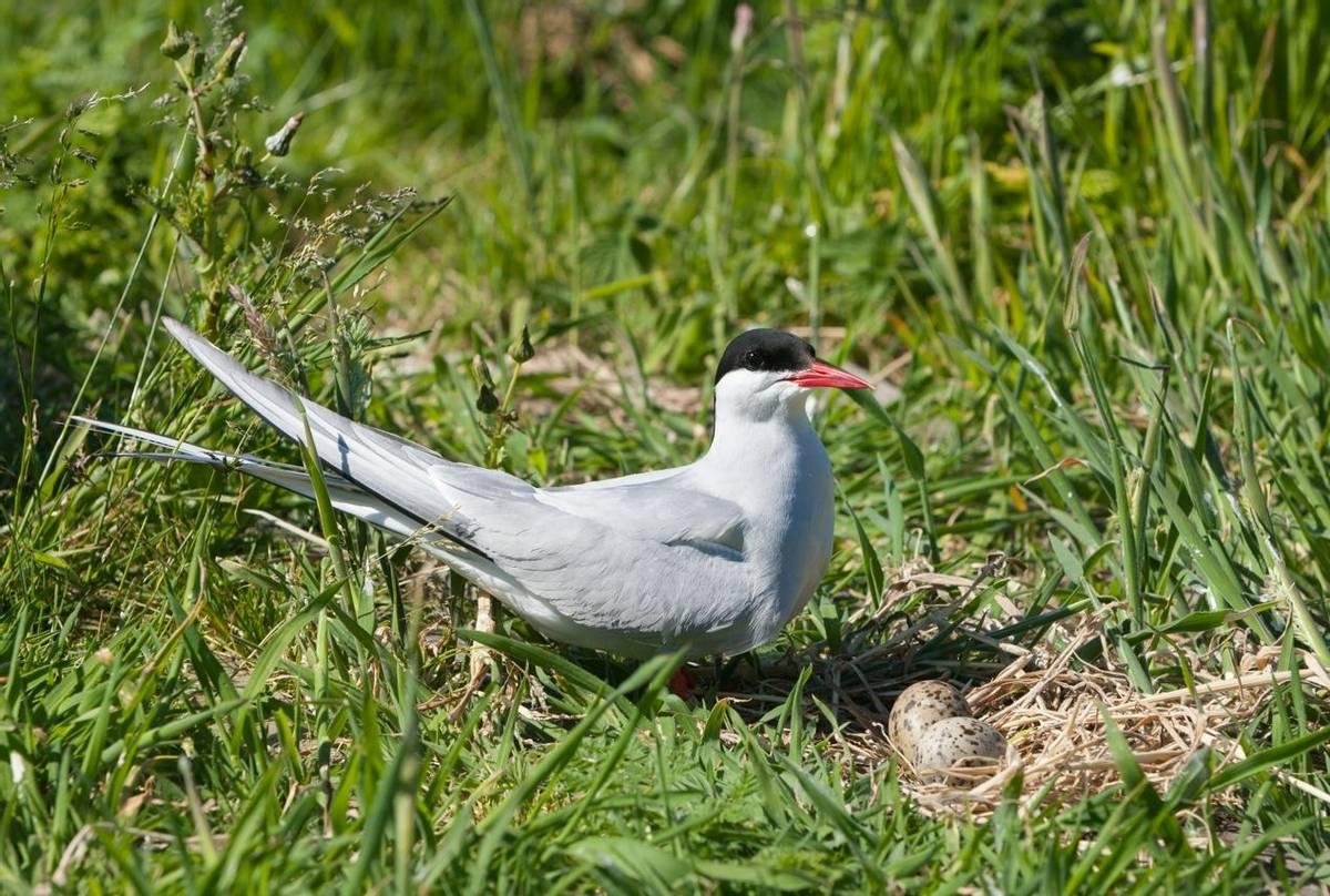 Arctic Tern (Oliver Smart)