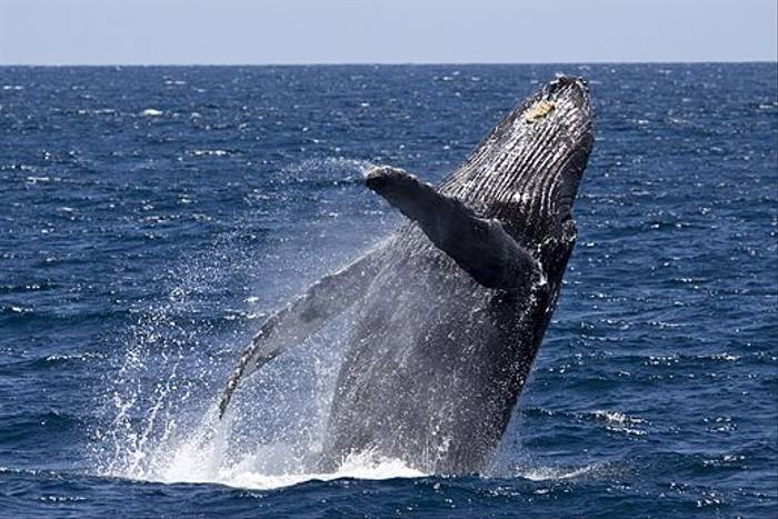 Humpback Whale (Lee Morgan)
