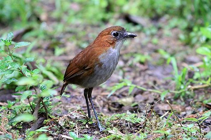 White-bellied Antpitta (Robert Davidson)