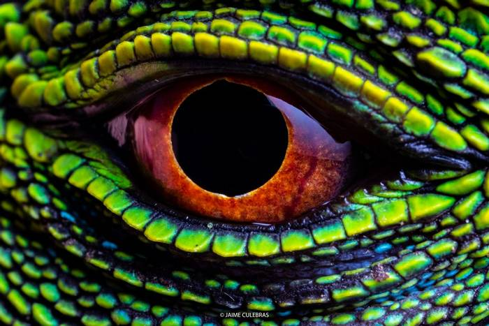 Red-eyed Woodlizard (Enyalioides oshaughnessyi) - Jaime Culebras