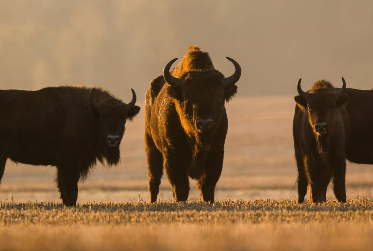 European Bison, Bialowieza, Poland Shutterstock 725556700