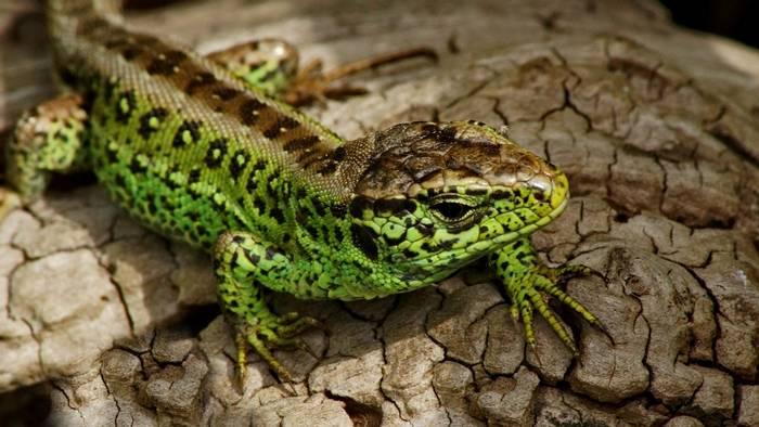 Sand Lizard (Russ Hedley).jpg