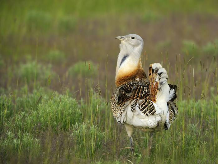 Great Bustard shutterstock_165555305