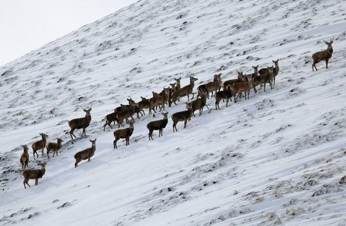 Red Deer (Jenny Thynne)