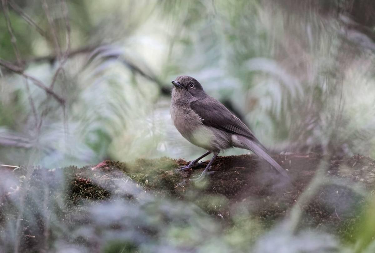Abyssinian-Slaty-Flycatcher,-Ethiopia-shutterstock_1060091654.jpg