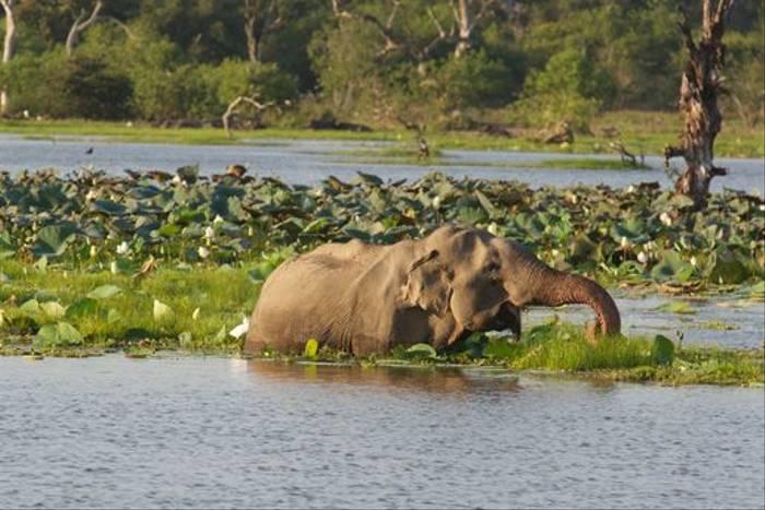 Asian Elephant, Yala National Park (David Allison)