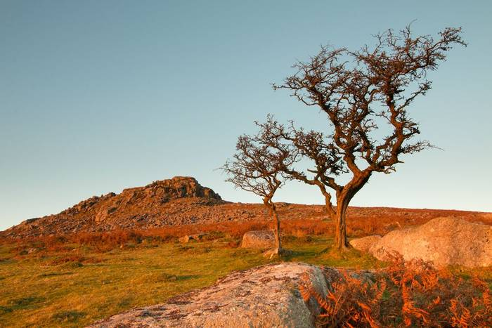 Hawthorn trees and Sheeps Tor (© Robert Harvey)