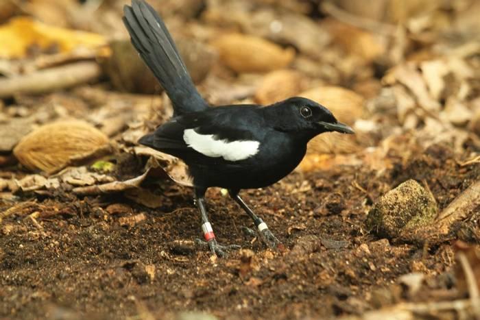 Seychelles Magpie-robin (Andrew Lapworth).jpg