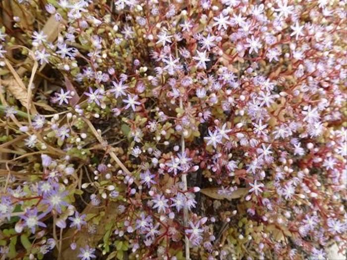 Azure Stonecropm, Sedum caeruleum (Kerrie Porteous)