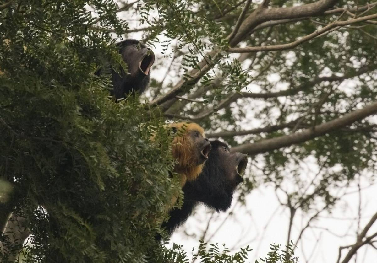 Black Howler Monkeys (Kevin Wood)