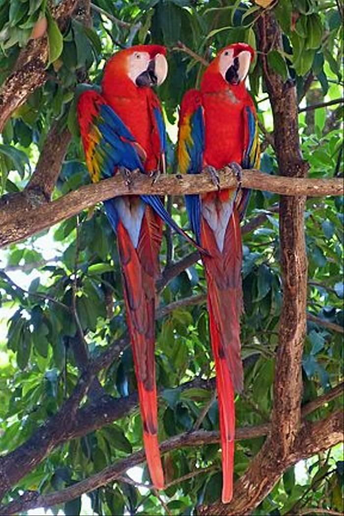 Scarlet Macaws (Ian Tulloch)