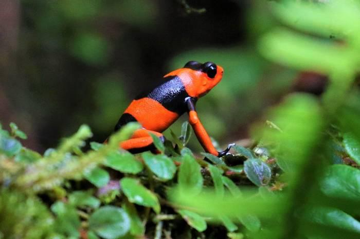 Lehmann's Poison Frog (Oophaga lehmanni) - Robin Smith