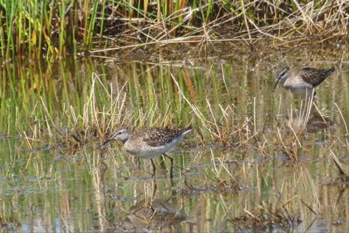 Wood Sandpipers (Colin Wibberley)