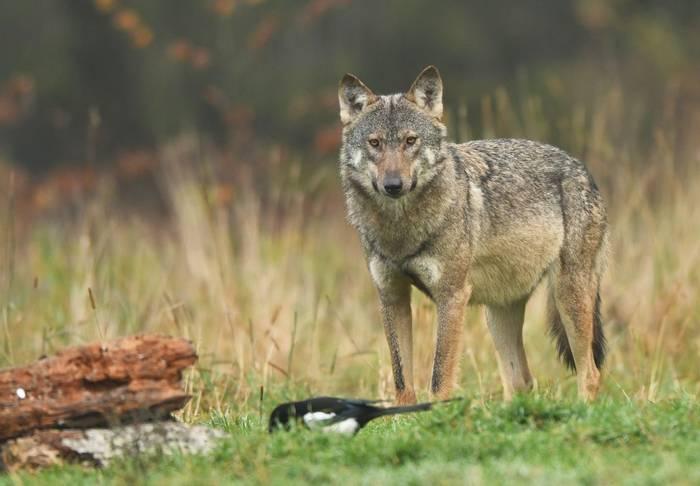 Wolf, Canis lupus, Poland shutterstock_741803089.jpg