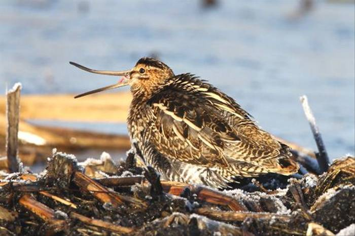 Common Snipe (John Crispin)