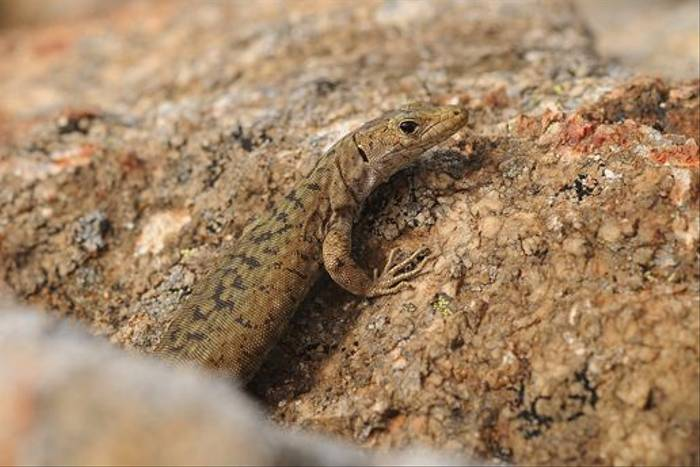 Bedriaga's Rock Lizard (David Morris)