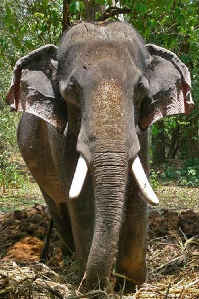 Asian Elephant (Tim Melling)
