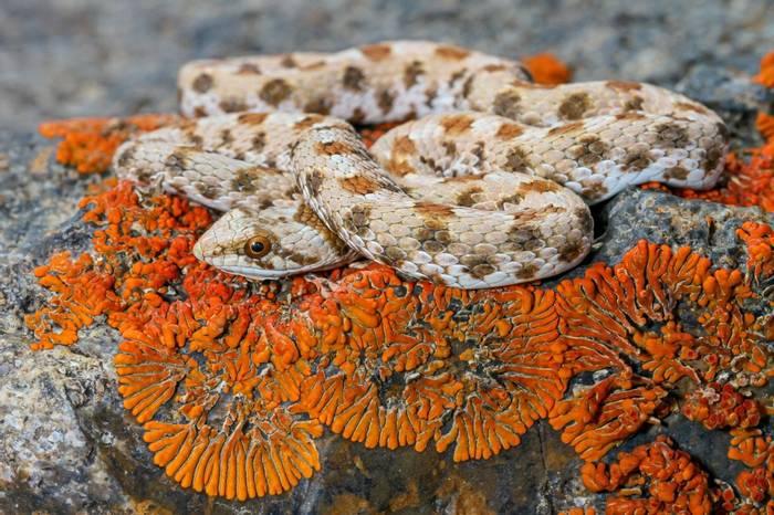 Dwarf Beaked Snake (Dipsina multimaculata)