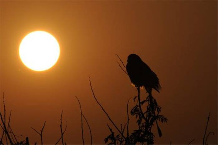 Rufous Treepie at Sunset (Peter Johnson)