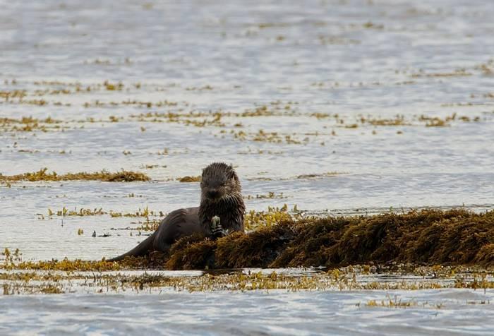Otter (Alain Verstraete)