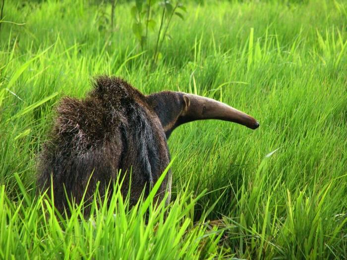 Giant Anteater, Brazil