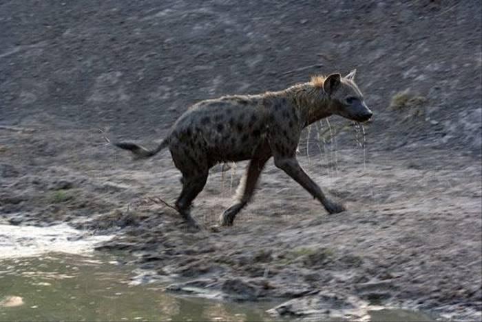 Hyena (Leon Marais)