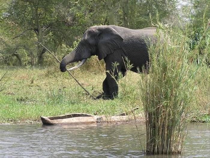 African Elephant (Thomas Mills)