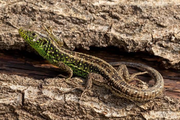 Sand Lizard shutterstock_1371535436.jpg