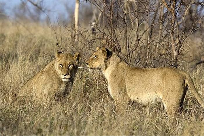 Lions (Leon Marais)