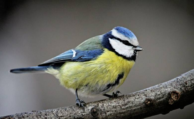 Blue Tit AdobeStock_180737414.jpeg